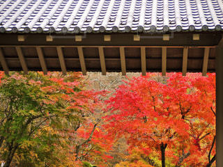 和風旅館大門から中庭の紅葉🍁の写真・画像素材[1626888]