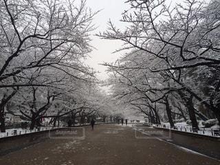 白雪咲く上野公園桜並木の写真・画像素材[1679001]