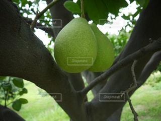 食べ物,フルーツ,果物,台湾,柚子,文旦,中秋,産地,斗六