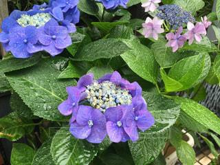 雨,あじさい,紫陽花,水玉,梅雨,雨の日,つゆ,アジサイ,しとしと,雨跡
