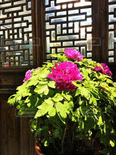 中国の軒先の花の写真・画像素材[3203947]
