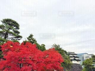 皇居のもみじの写真・画像素材[3770919]