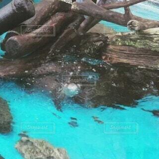 プール,水族館,水面,泳ぐ,可愛い,流木,コツメカワウソ,すばやい