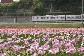 紫色の花のフィールドのグループの写真・画像素材[1125242]