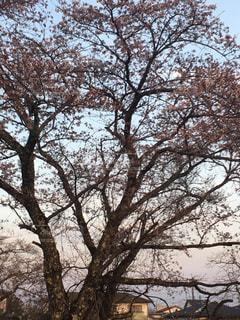 #桜の写真・画像素材[427275]