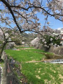 桜,芦屋,芦屋川
