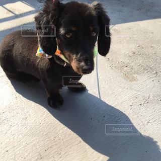 ひもに黒犬の写真・画像素材[1002121]