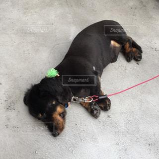 ひもに横たわっている茶色と黒犬の写真・画像素材[1002124]