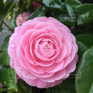 近くに緑の葉とピンクの花のアップの写真・画像素材[1449752]