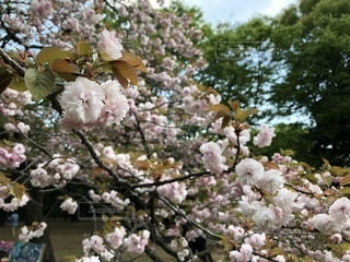 遅咲きの八重桜の写真・画像素材[1123378]