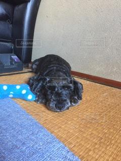 椅子の上に横たわる犬 - No.743193