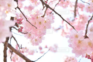 春,桜,ピンク,日本,japan,pink,Spring,卒業式,cherryblossom