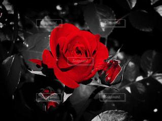 赤の写真・画像素材[536232]