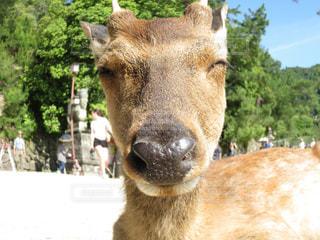 カメラを見て鹿の写真・画像素材[1208538]