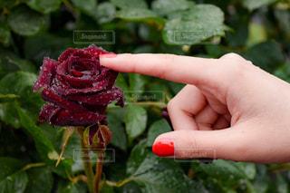 雨,赤,バラ,薔薇,写真,rain,雫,梅雨,rose,photo