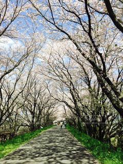 春,桜,経大前の堤防