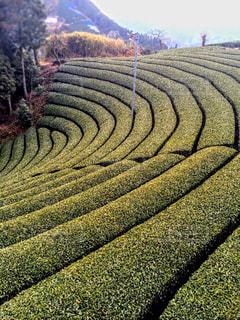京都,観光,茶畑
