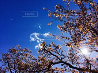 桜,青空,晴天,花見,お花見,卒業,寂しい,成長,おめでとう,卒業式