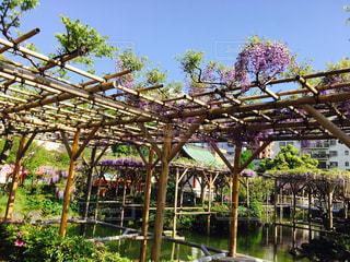 花,春,青空,散歩,紫,藤,お祭り,藤棚,亀戸天神,亀戸