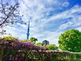 空,花,春,青空,散歩,紫,スカイツリー,藤,お祭り,快晴,藤棚,亀戸天神,亀戸