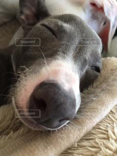 犬,寝顔,イタグレ,イタリアングレーハウンド