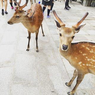 公園,動物,街,鹿,奈良公園,野生,ツーショット