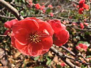 #花,#赤,#植物,#卒業式,#3月