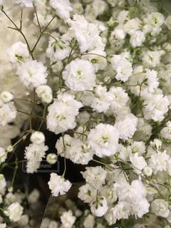 かすみ草の写真・画像素材[1404217]