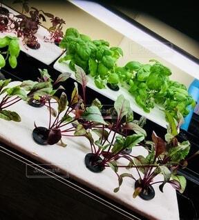 食べ物,野菜,食品,ミャンマー,食材,フレッシュ,ベジタブル,水耕栽培