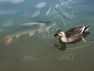 動物,魚,仲良し,野鳥,japan,鴨川,コイ,bird,wildlife,ツーショット