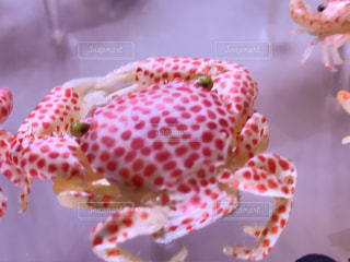 蟹🦀の写真・画像素材[845138]
