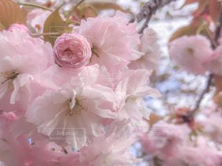 桜のピンクは鉄板 - No.852497