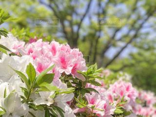 ツツジ 花のある風景の写真・画像素材[1144520]