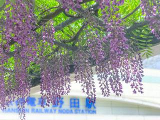 野田の藤の写真・画像素材[1144585]