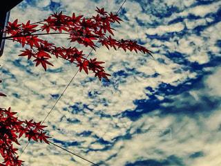 空はうろこ雲の写真・画像素材[1514444]