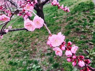 ピンク,梅,綺麗,梅林