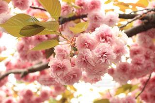 春,桜,お花見,さくら