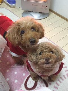 #犬,#かわいい,#トイプードル,#dogs,#クリスマス服,#トイプ
