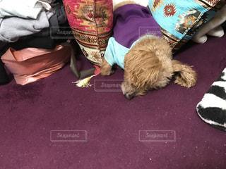 #爆睡,#かわいい,#愛犬,#トイプードル