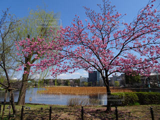 花,春,桜,東京,お花見,上野公園,不忍池