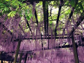 紫の写真・画像素材[467125]