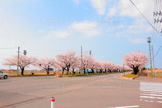 春,桜,お花見,青森県,弘前市,つかの桜街道