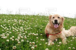 犬,ペット,ゴールデンレトリバー,ゴールデンレトリーバー