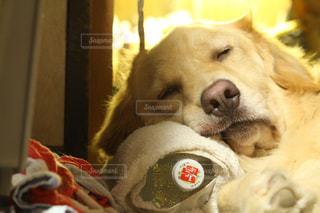 犬,ペット,寝顔,ゴールデンレトリバー,ゴールデンレトリーバー