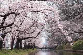 花,春,桜,木,花見,景色,草,お花見,イベント,桜祭り,弘前公園,桜の花