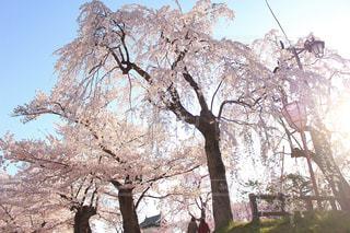 空,花,春,桜,木,青空,花見,お花見,イベント,弘前公園,お天気