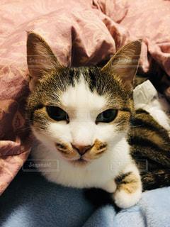 毛布の上に横になっている猫の写真・画像素材[1275146]