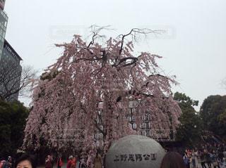 上野恩賜公園 桜 寒い - No.405892