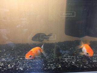 水の中のオレンジ色の魚の写真・画像素材[995543]