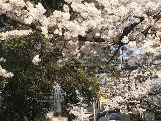 公園,春,桜,満開,噴水